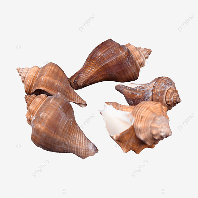 photography picture animal shell conch