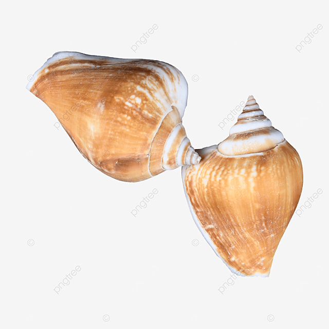 photography picture shellfish coast conch