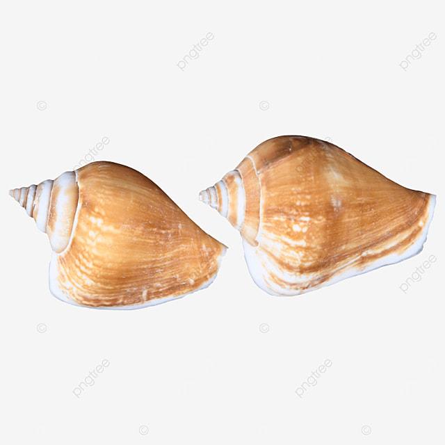sea shellfish beach conch