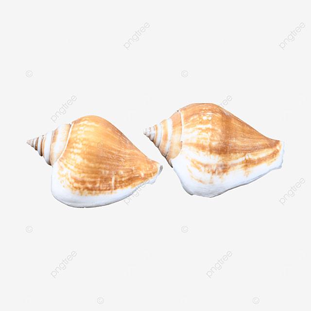 seafood animal shell conch