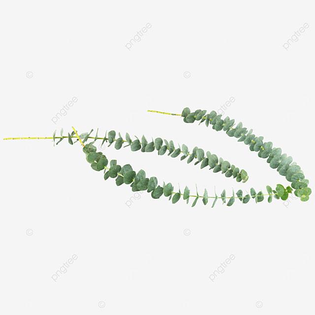 three green eucalyptus decorative plants