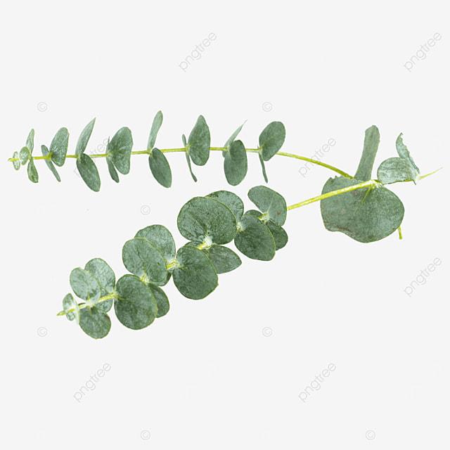 two green plants decorating eucalyptus