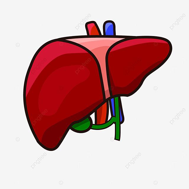 gallbladder liver frontal liver clip art
