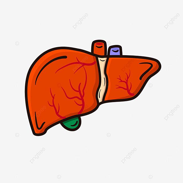liver frontal red liver clip art