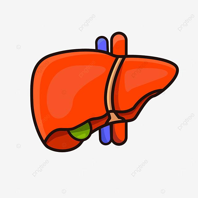 liver gallbladder blood vessel liver clipart