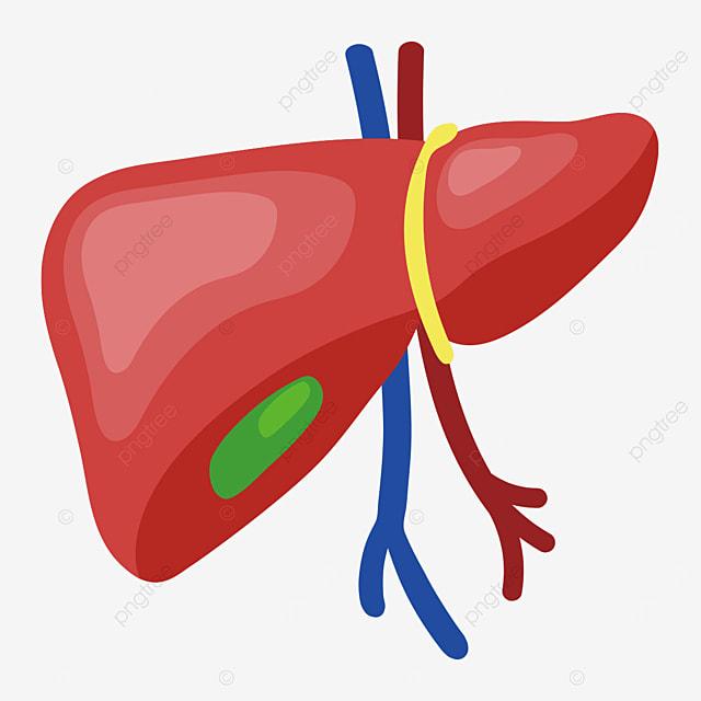 three dimensional liver liver clipart