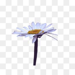 Fleur Marguerite Png Vecteurs Psd Et Icones Pour Telechargement