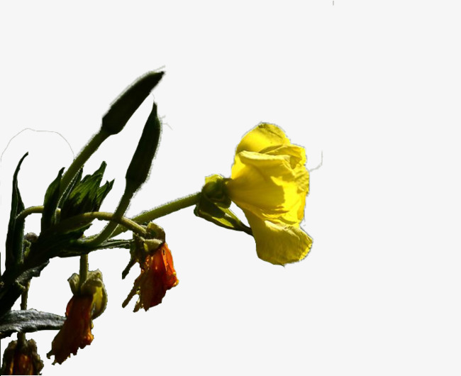 A small yellow flower flower clipart night to incense bloom png a small yellow flower flower clipart night to incense bloom png image and mightylinksfo