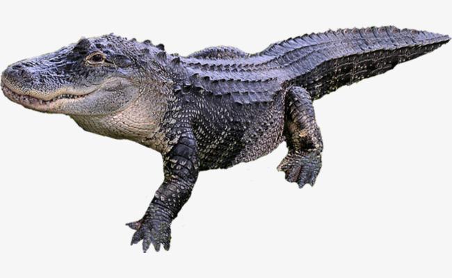 Alligator Animal Body Diagram Alligator Clipart Animal Clipart