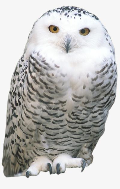 Image of: Diurnal Animal Owl Animal Clipart Owl Clipart Nocturnal Animals Png Image And Clipart Pngtree Animal Owl Animal Clipart Owl Clipart Nocturnal Animals Png Image