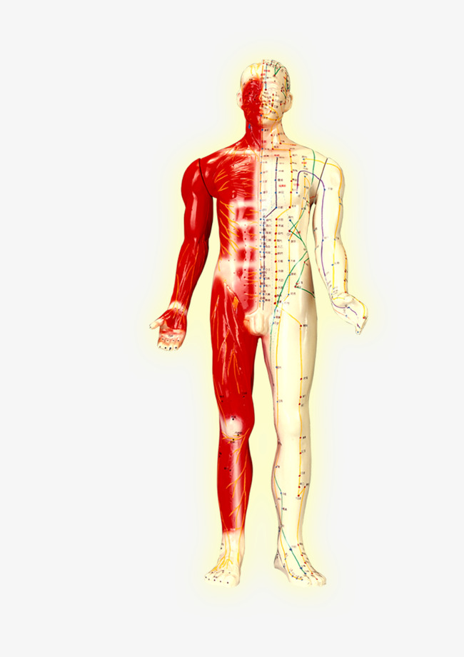 Body Structure, Human Body, Engineering, Structure PNG Image and ...