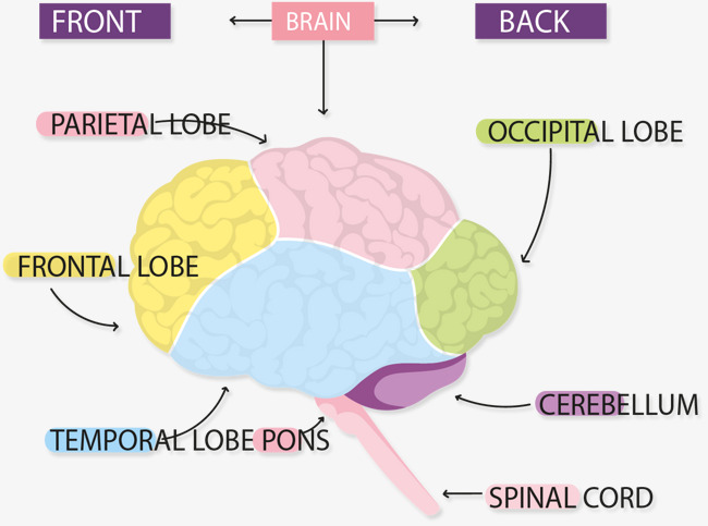 Brain Structure Chart Brain Vector Chart Vector Brain Png And