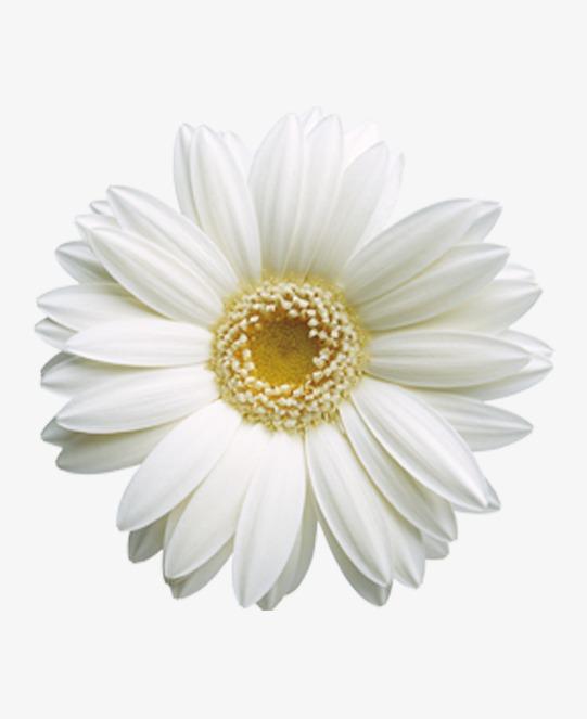 Bright flowers chrysanthemum white flower flowers png image and bright flowers chrysanthemum white flower flowers png image and clipart mightylinksfo