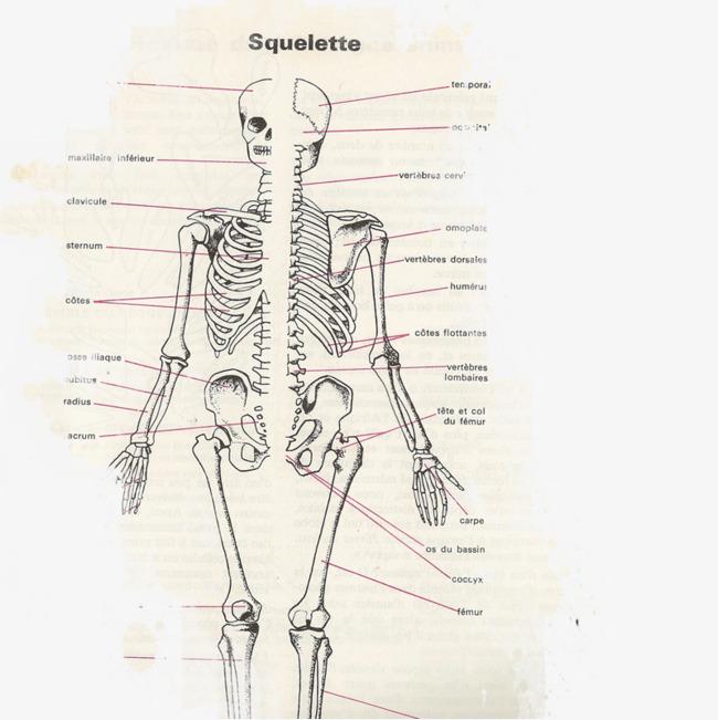 Fig Human Skeleton Bone Medical Fig Clipart Png Image And Clipart