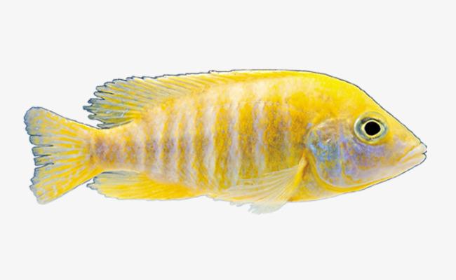 Fish Ornamental Fish Aquarium Fish In Png And Psd File For Free