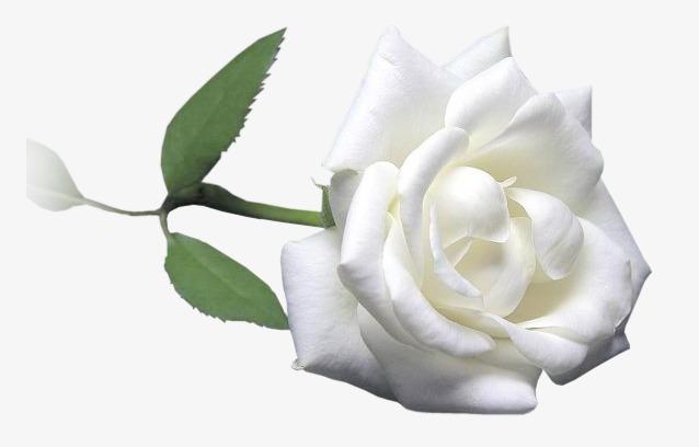 Line Drawing Of Rose Plant : Flowers line drawing label flower celebration