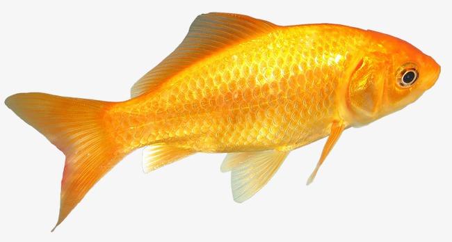 Cá Chép Vàng Miễn Phí Png Và Clip Nghệ Thuật