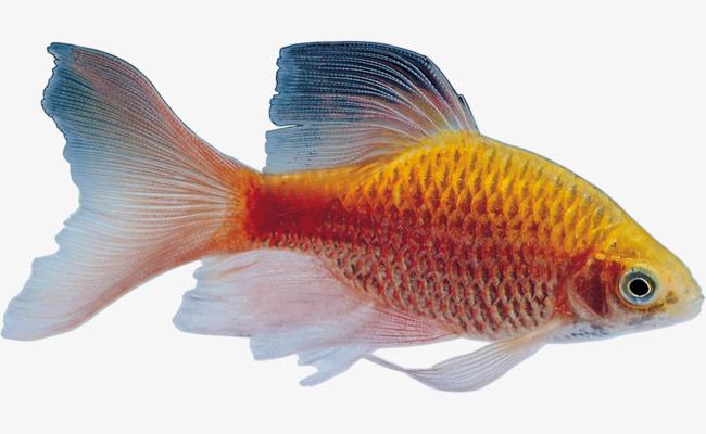 Cá Chép Màu Vàng Miễn Phí Png Và Clip Nghệ Thuật