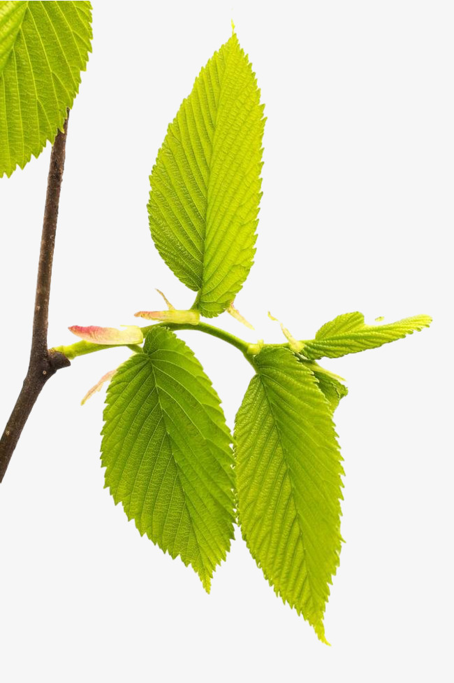 vert tilleul de branches bodhi de feuilles feuilles des