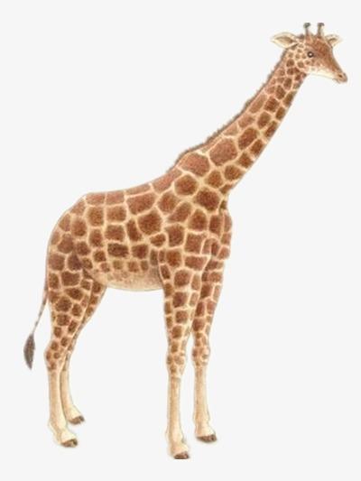 la girafe dessin r u00e9aliste animal image png pour le