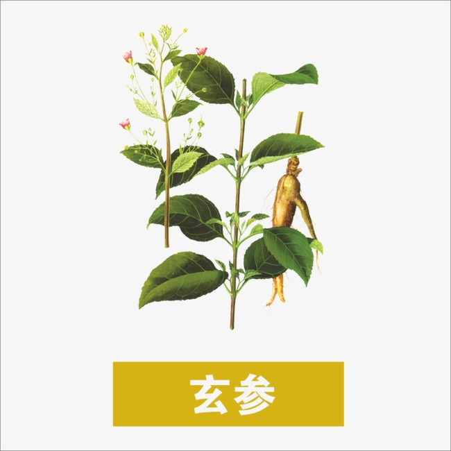 Herbs Scrophulariaceae Traditional Chinese Medicine Medicinal