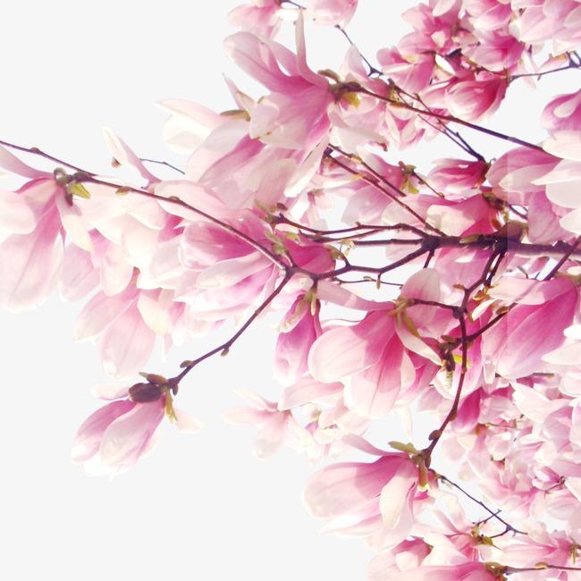 Fleur De Pecher Des Fleurs Et Des Plantes Fleur De Pecher Fleur