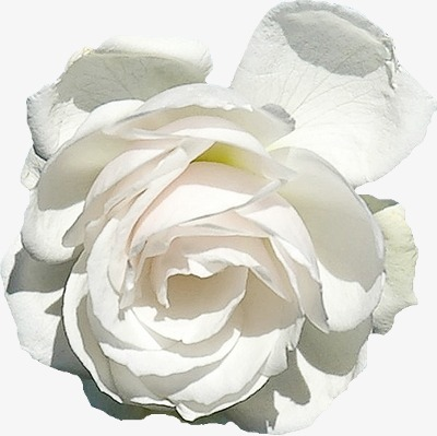 Pure White Flowers White Flowers Open Png Image And Clipart For