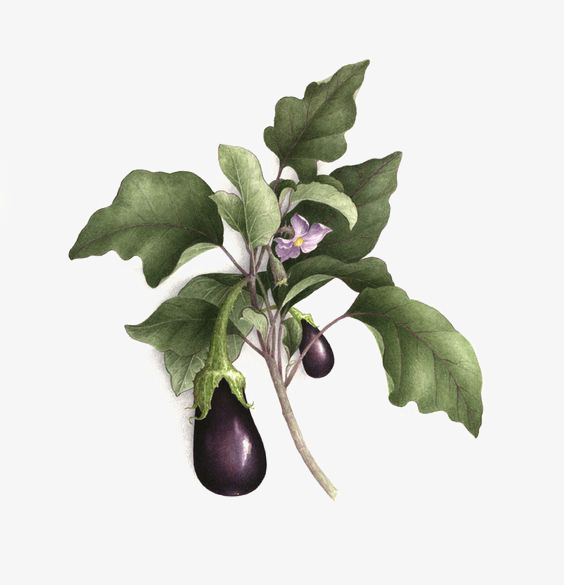 Purple Eggplant Mature Eggplant Creative Vegetable Png Image And