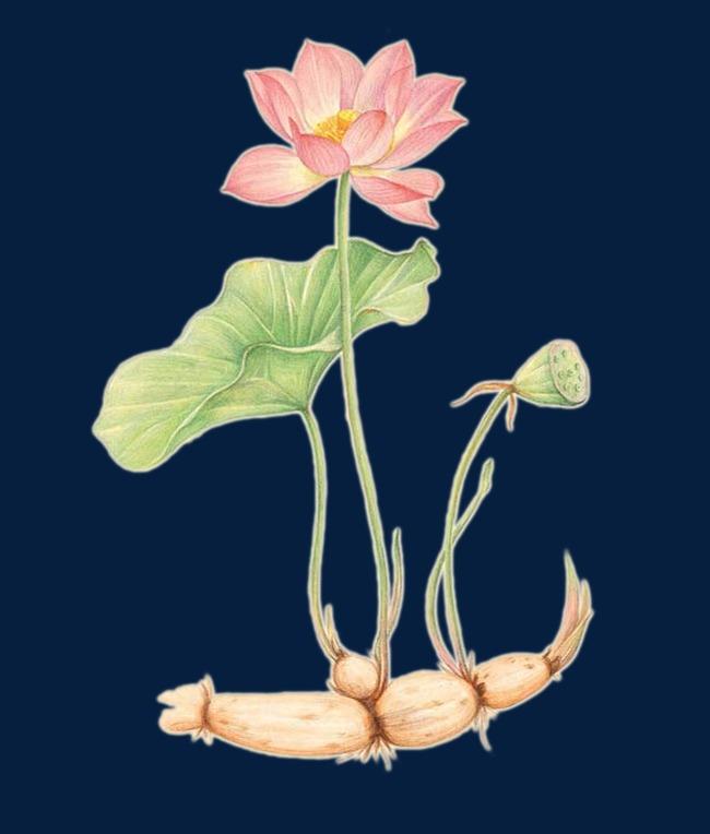 Raw Lotus Root Holland Lotus Clipart Lotus Natural Png