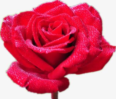 La Rose Pourpre Roses A La Rosee Fleurs Rouges L Amour Image Png