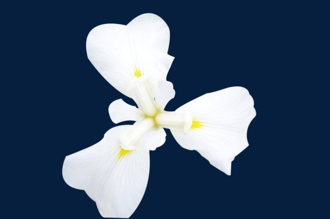 Tres Hojas De Flores Blanco Yellow Core Flores Imagen Png Para