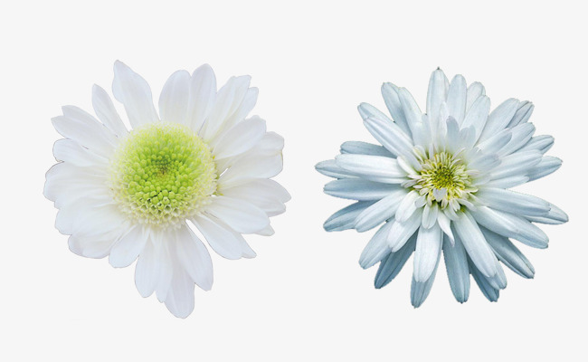 Two Kinds Of White Chrysanthemum Picture Material Two Kinds