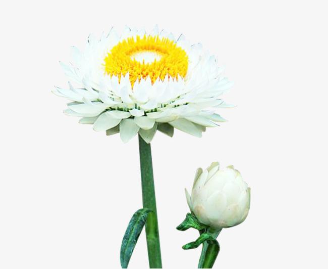 Fleur De Chrysantheme Deux Des Images Blanc Helichrysum Italicum