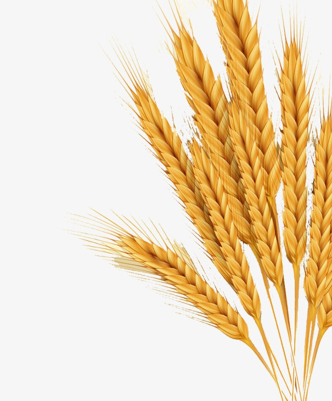 espigas de trigo espigas de trigo cereais as culturas png imagem