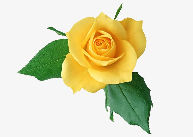 Yellow Rose Rose Clipart Yellow Flowers Png Image And Clipart For