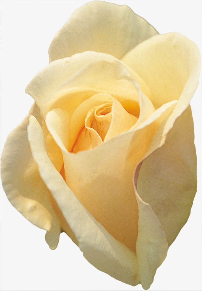 Yellow Roses Flowers Rose White Png Image And Clipart For Free