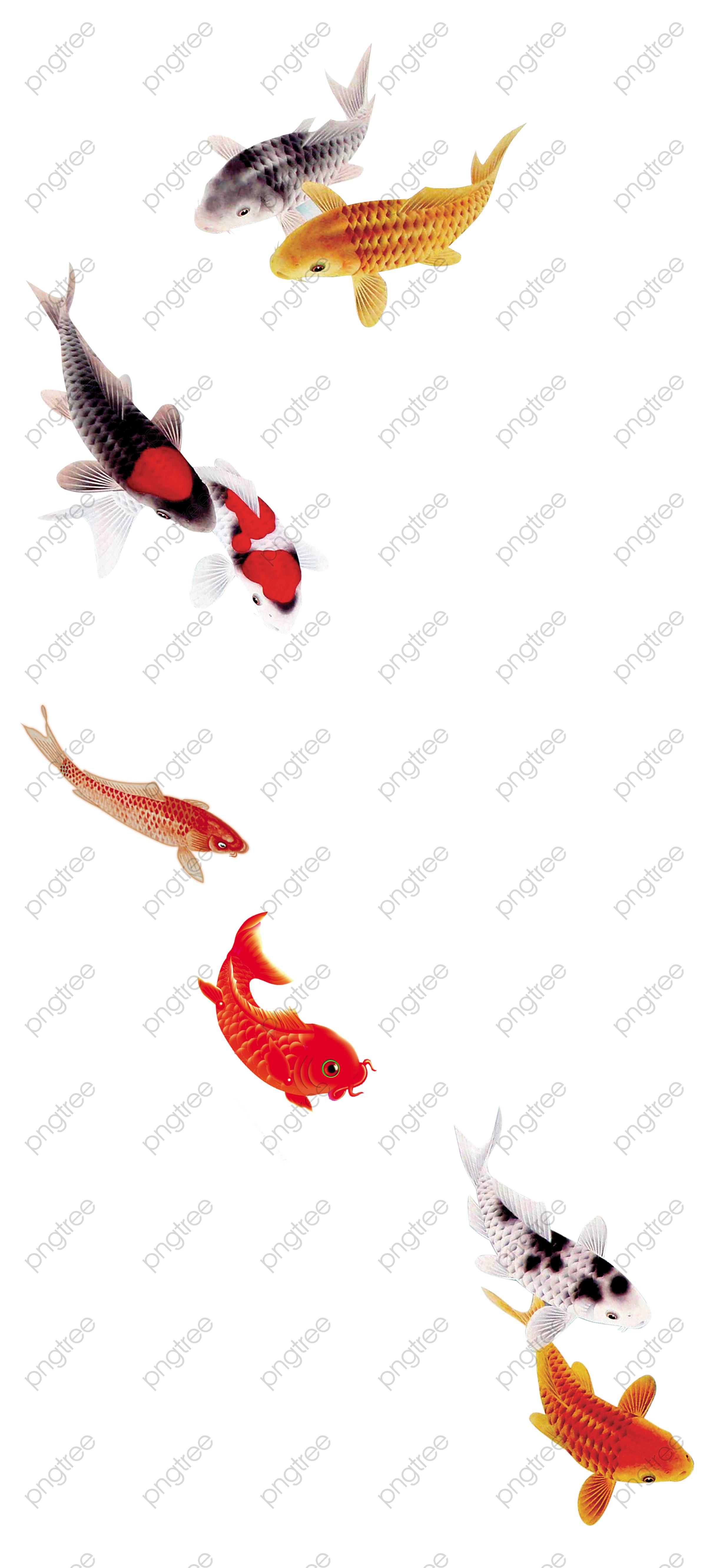Transparent beautiful koi carp fish goldfish fine PNG Format Image With Size 2422*5326 ...