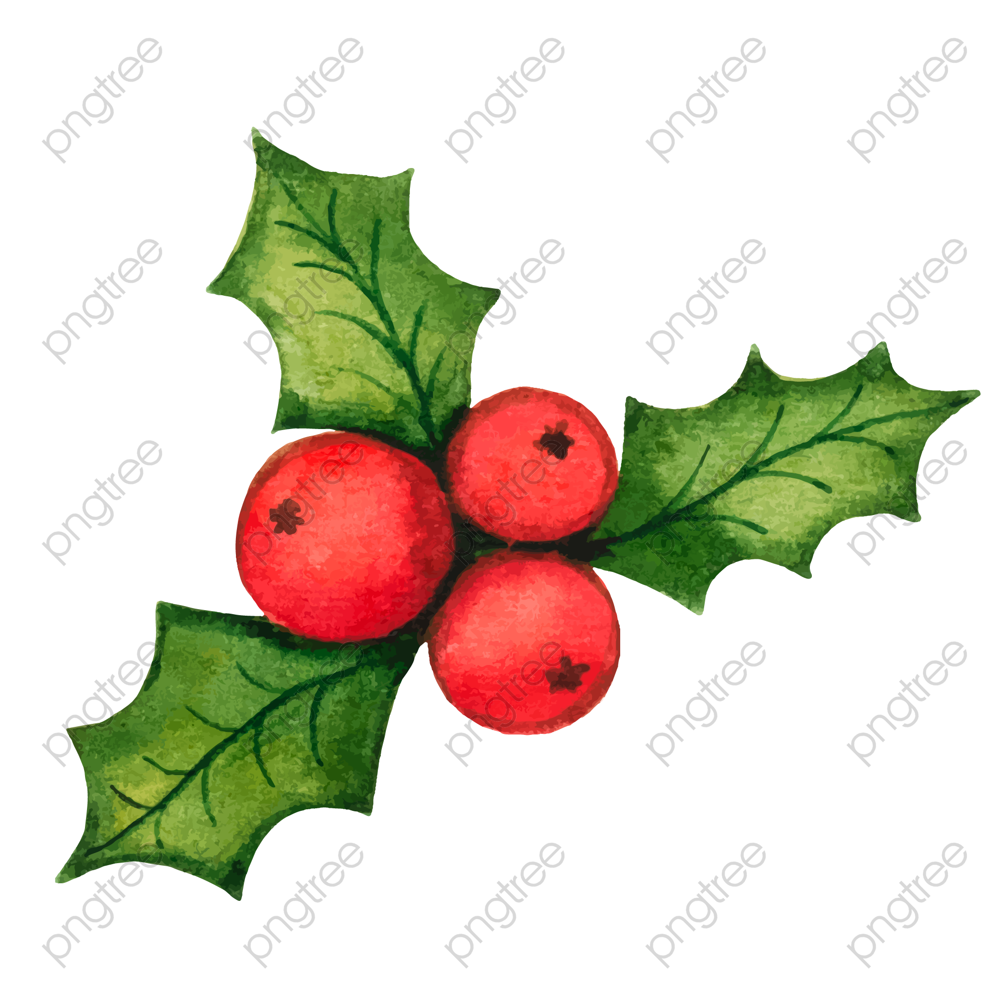 Christmas Holly Png.Transparent Christmas Holly Decorations Vector Material Png