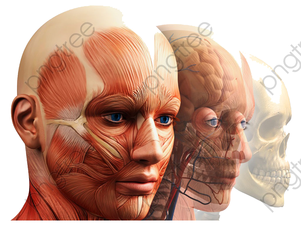 Transparent Human Anatomy Model Picture High Definition Deduction