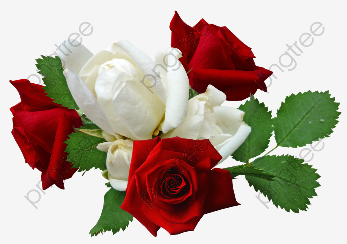 Transparent Red Roses And White Roses Png Format Image With Size