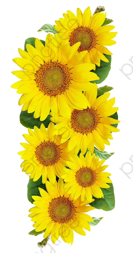 Transparent sunflower PNG Format Image With Size 2000*2000 ...