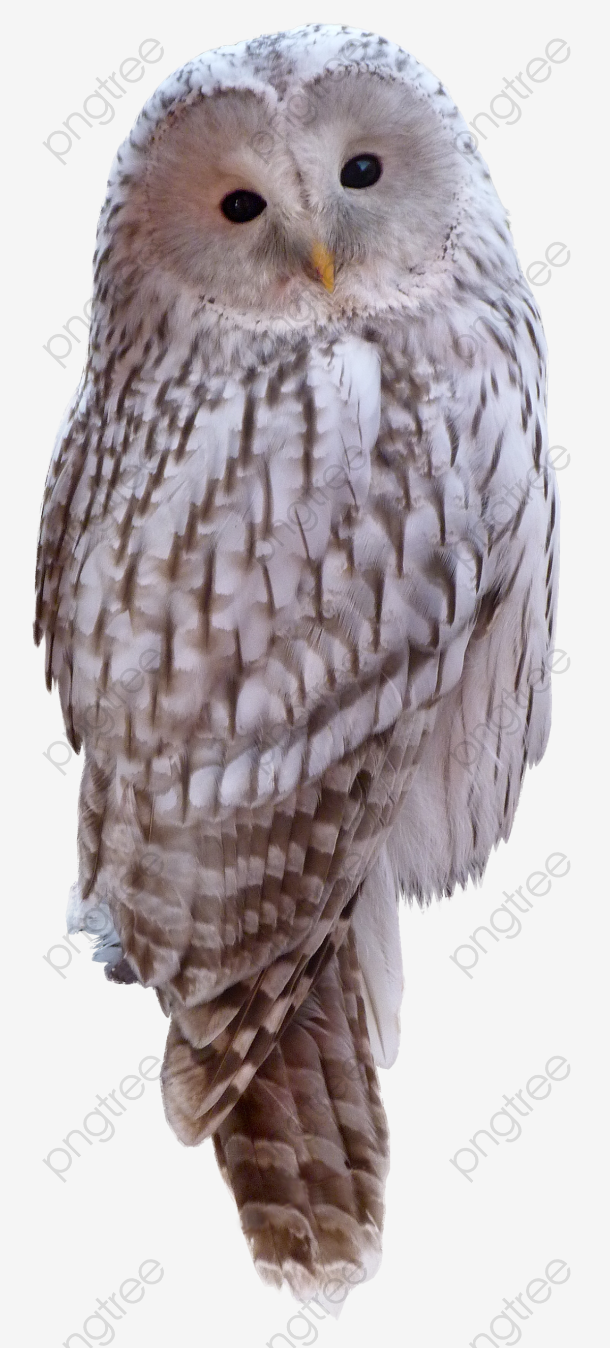 White Owl, Owl Clipart, Birds Real Stars, White Animals ...