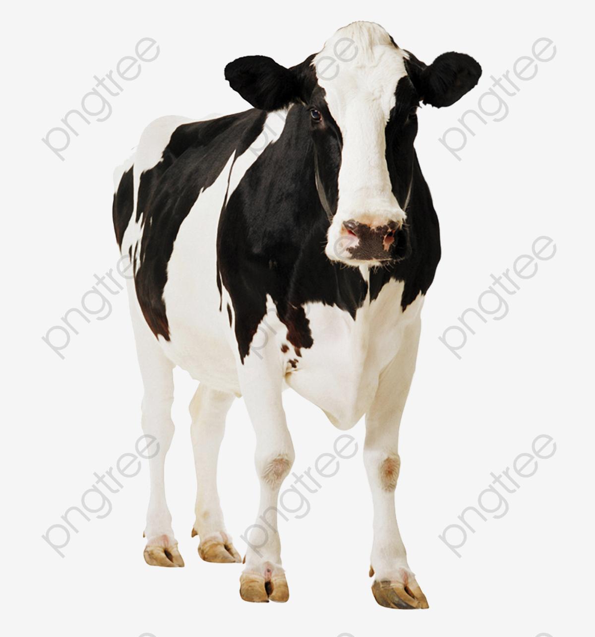 2e41e418efa1 Vacas Positivas Vaca Lechera El Ganado Vacas Lecheras Imagen PNG ...