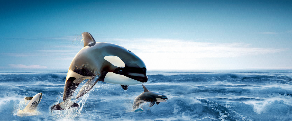 Killer Whale Dolphin Toothed Whale Whale Background, Water, Ocean, Wildlife, Background image