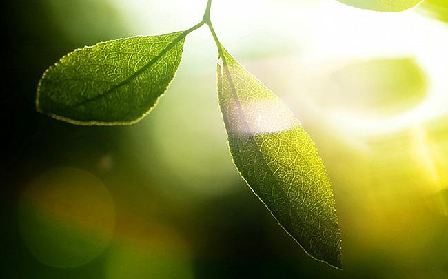 植物の葉の木の維管束植物の背景 ハーブ 新鮮 ガーデン 背景画像