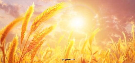सुंदर सुनहरा गेहूं के खेत, सुंदर, सुनहरा गेहूं के खेत, गेहूं पृष्ठभूमि छवि