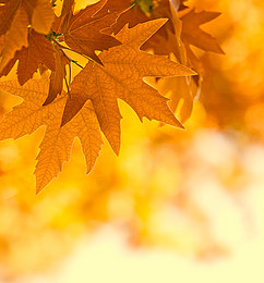 maple autumn leaves fall background, Orange, Leaf, Yellow Background image