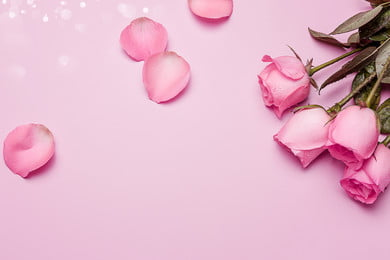 Pink Fresh Beautiful 520, Rose, Petal, Pink Background, Background image