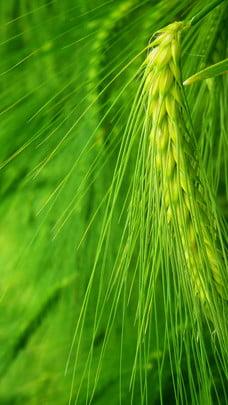 緑の小さなフルスロットル小麦の背景素材 , グリーン, 小麦の穂, 小麦の穂の背景 背景画像