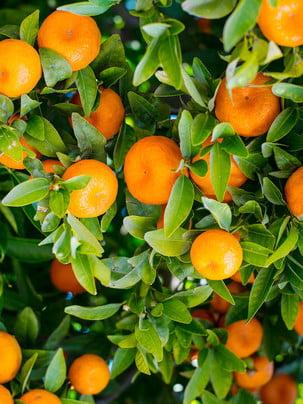 hd orange tree background material , Orange Tree, Fruit, Fresh Oranges Background image